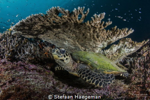 Resting turtle under a table coral. by Stefaan Haegeman