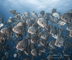 I encountered this large school of spade fish while ascen... by Debbie Wallace