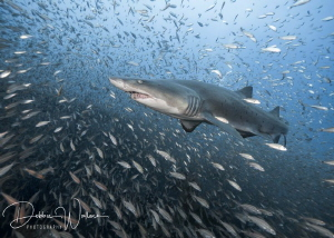 I captured this lovely female sand tiger shark effortless... by Debbie Wallace