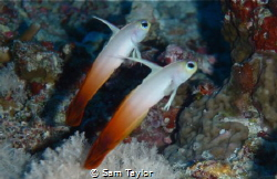 Pair of fire dart gobies. Nikon D-70, 60mm lens & twin st... by Sam Taylor