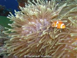 Hidden Clownfissh by Hansruedi Wuersten