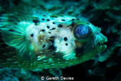 Balloonfish by Gareth Davies
