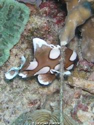 Harlekinfish by Hansruedi Wuersten