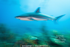 """Faaaast!"" - A Caribbean reef shark speeds across a coral... by Susannah H. Snowden-Smith"