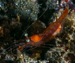 Shrimpy the Shrimp!!! by George Touliatos