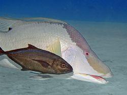 Hogfish with a freeloading Bar Jack (aka Skipjack). Nikon... by Jim Chambers