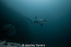 Pelagic Thresher Shark by Henley Spiers