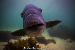 Blue Groper intent on getting it's portrait taken.
