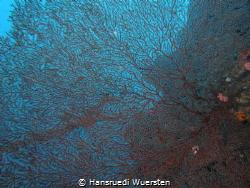 Structure of a fan coral by Hansruedi Wuersten