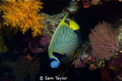 Another fav. fish, the Emperor Angelfish. Osprey reef Aus... by Sam Taylor