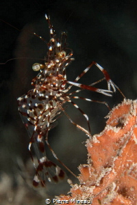 Cleaner shrimp waiting for its next customer by Pierre Mineau