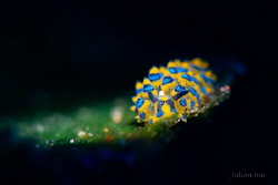 Sapsucking Slug (Costasiella sp.) by Julian Hsu