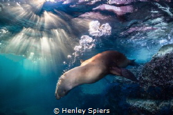 SeaLion at Sunset by Henley Spiers