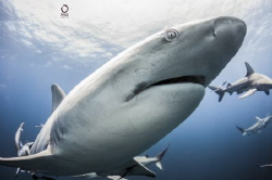 Shark dive. Close up with a black tip by Marco Calvani