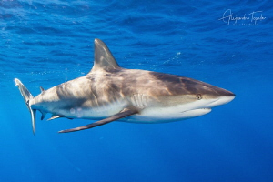Reef Shark in Blue, Gardens of the Queen Cuba by Alejandro Topete