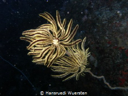Two Feather Stars seat on Wipcoral by Hansruedi Wuersten