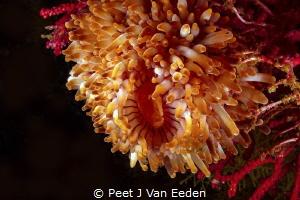 The rare walking sea anemone unique to the Cape Peninsula... by Peet J Van Eeden