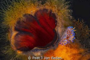 Fast Food.   Gas flame  nudibranch feeds at the opening... by Peet J Van Eeden