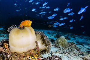 Clown fish and trigger fish