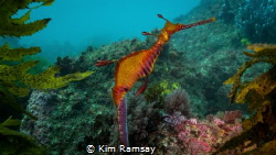Weedy Sea Dragon by Kim Ramsay