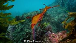 Weedy Sea Dragon by Kim Ramsay