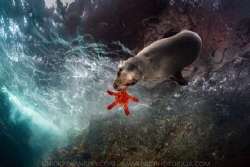 Sea Lion Chew Toys by Nick Polanszky
