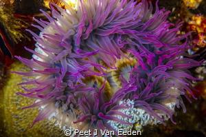 Sandy sea-anemone at Star walls dive site. probably endem... by Peet J Van Eeden