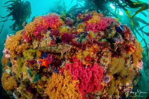 Colorful reef @False bay, Simon's town, South-Africa. by Filip Staes