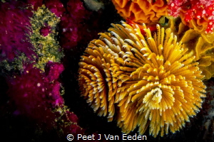 Yellow variant of the feather duster worm adds color the ... by Peet J Van Eeden
