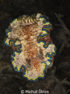 Nudi Glossodoris cincta at Lembeh by Michal Štros