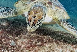 Nice turtle at the salt Pier of Bonaire by Beate Seiler