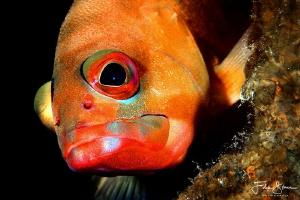 Blacktip grouper or redbanded grouper (Epinephelus fascia... by Filip Staes