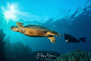"""Follow that turtle"", Dahab, Egypt. by Filip Staes"