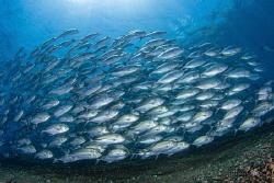Schooling Jackfish by Julian Hsu