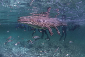 Cocodrile and the group, Gardens of the Queen Cuba by Alejandro Topete