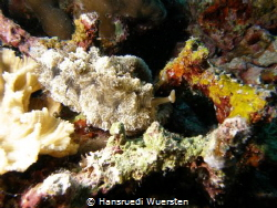 First time see this nudibranch ! by Hansruedi Wuersten