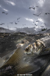 4.The incredible journey of pearl mullet fishes living ... by Mehmet Öztabak
