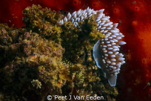 Silver Nudibranch unique to South African waters. I love ... by Peet J Van Eeden