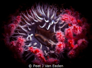 Bed of Roses > Sea anemone surrounded by multicolored seafan by Peet J Van Eeden