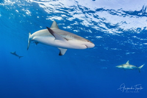 Reef Sharks in the Blue, Gardens of the Queen Cuba by Alejandro Topete