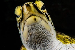 A very curious Green Sea Turtle checking my port. by Frankie Rivera