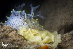One my favorite nudibranch... by Mathieu Macias