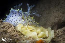 One my favorite nudibranch... by Mathieu Macias