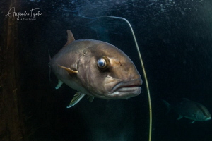 Global Eye fish, La Paz México by Alejandro Topete