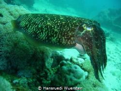 Cuttlefish: Chameleons Of The Sea by Hansruedi Wuersten