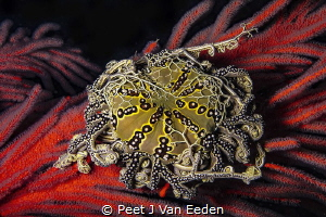 Grasping Arms  The basket star is also known as the jew... by Peet J Van Eeden