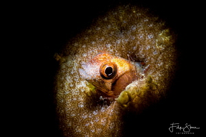 Secretary blenny(Acanthemblemaria maria), La Paz, Mexico. by Filip Staes