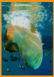 Napoleon Wrasse performs for the camera at the Brothers i... by Fiona Ayerst