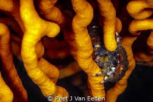 Blue striped hermit Crab in its hide away by Peet J Van Eeden