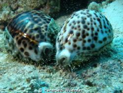 Cowrie Tiger Shells by Hansruedi Wuersten